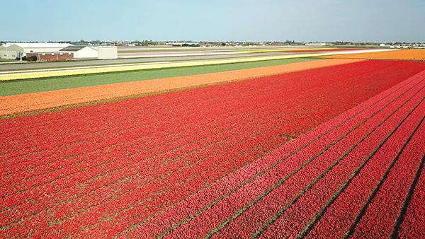 Keukenhof Flower Fields Video 1